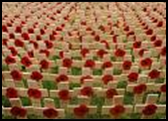 rows of poppies and headstones
